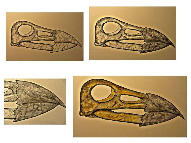 Bird skull process