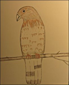 Broad-winged Hawk in pen.