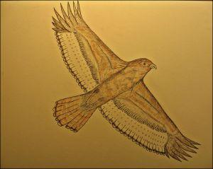 Red-tail Hawk in flight.
