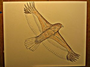Red-Tail Hawk in flight as it progresses on the page.