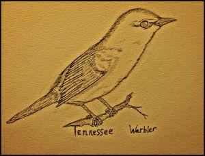 tennesseewarbler.jpg