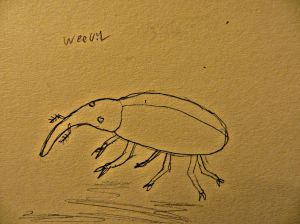 Weevil pencil drawing.