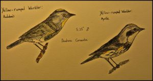 The two varieties of Yellow-rumped Warblers.