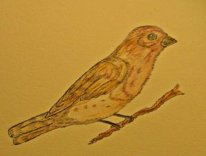Purple Finch.