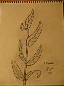milkweedsketch.jpg