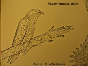 sharpshinnedfinalwords.jpg