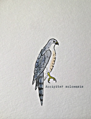 chinese sparrowhawk1TEXT