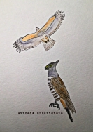 crested hawk1TEXT