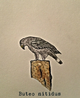 gray lined hawk1TEXT