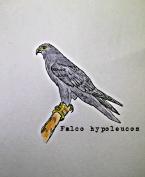 Grey Falcon1TEXT