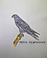Grey Falcon1TEXT