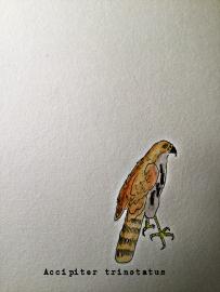 spot tailed sparrowhawk1TEXT