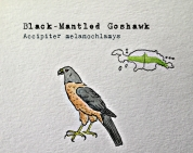 black mantled hawks1TEXT