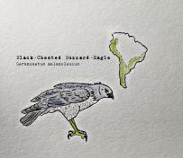 blackchested buzzard eagle