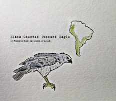 blackchested buzzard eagle