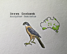 brown goshawk1TEXT
