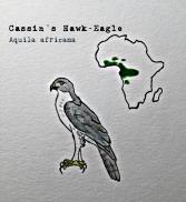 Cassin's Hawk Eagle