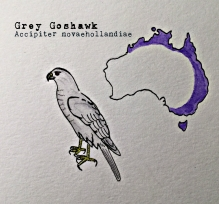 grey goshawk1text