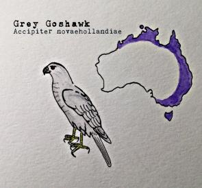 grey goshawk1text