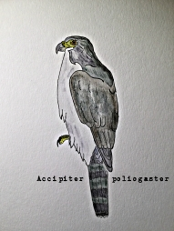 greybellied goshawk TEXT1