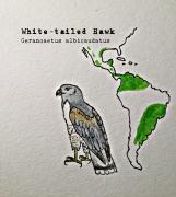 whitetailed hawk