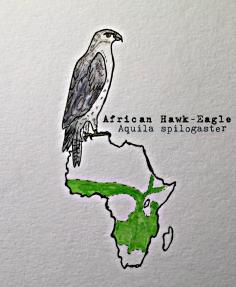 african hawk eagleTEXT