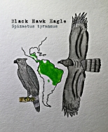 black hawk eagle