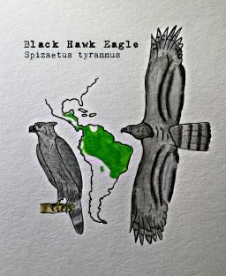 black hawk eagle