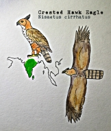 crested hawkeagleTEXT