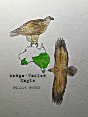 Wedgetailed watercolor