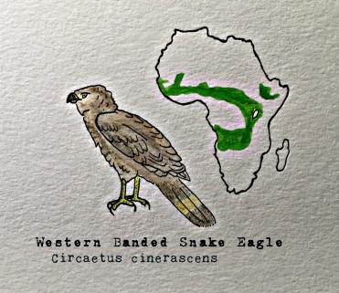 western banded snake eagle