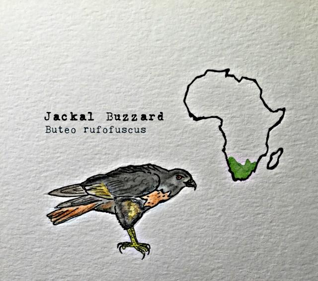 jackal buzzard1